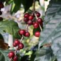 ラオスにはコーヒー作りに適した風土と土壌があります。